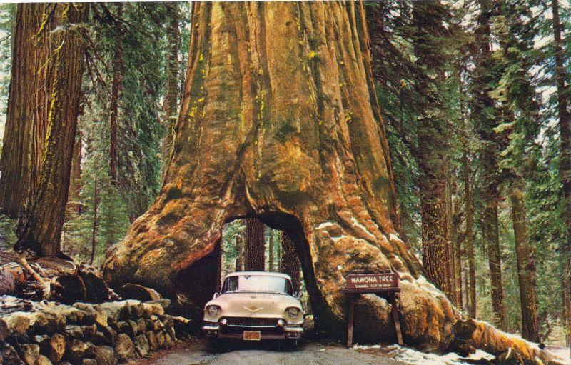 Wawona Tunnel Tree: едем прямо через дерево, при этом совершенно трезвы